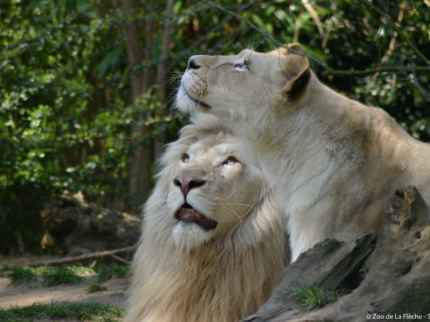 lions-blancs