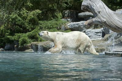 France, Sarthe ( 72  ), zoo de la Flèche , ours polaire (Ursus maritimus) // France , Sarthe , Zoo La Fleche , Polar Bear ( Ursus maritimus )